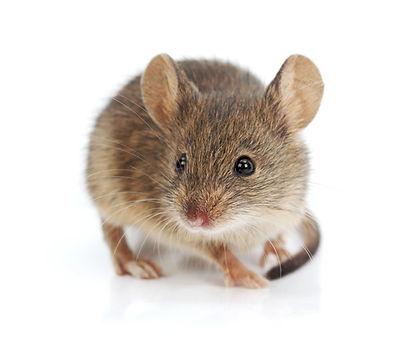 DPS-mice-website.jpg