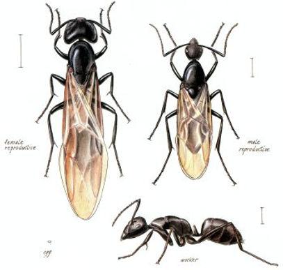 DPS-carpenter-ants-variety.jpg