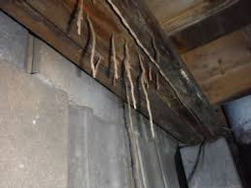 termite mud tubes.jpg