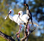 African_spoonbills_and_reed_cormorant_—_