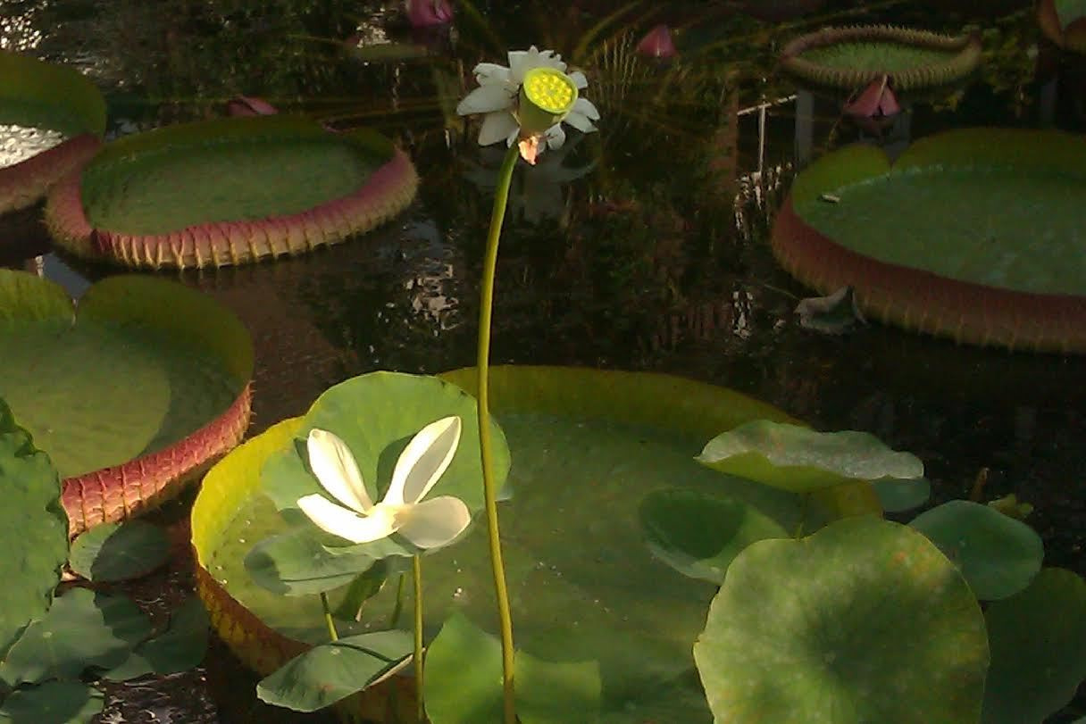 Hortus waterlelie