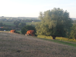 foto grazende koeien