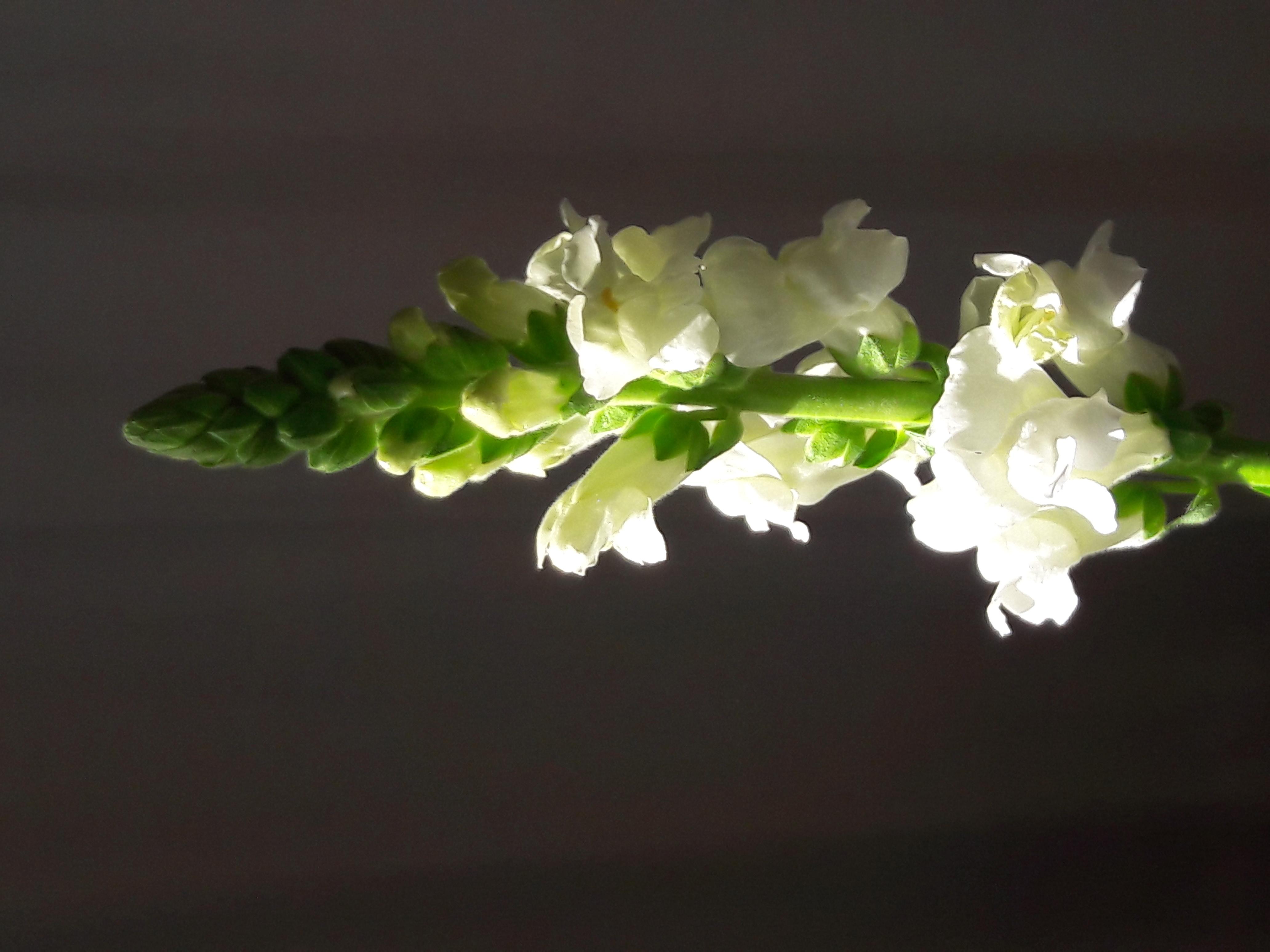 foto witte violier