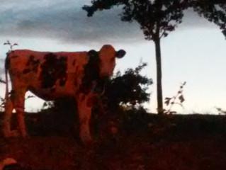 Koeien, schilderij of foto?