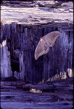 stump_moth.jpg