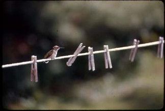 bird_clothesline.jpg