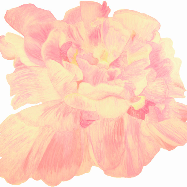 Curling Pink Peony By Gina Rizzo