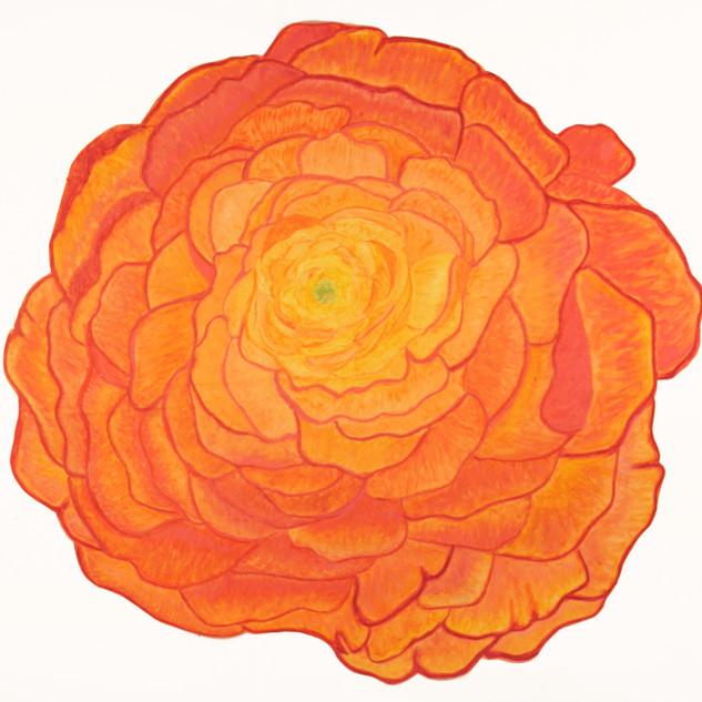 Orange Renunculus By Gina Rizzo