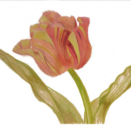 Verigated Tulip By Gina Rizzo