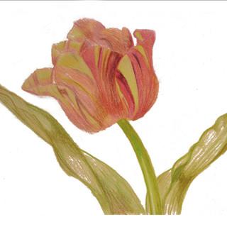 Verigated Tulip By Gina Rizzo