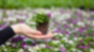 Rassada-cvetov-trebuet-vnimaniya-i-zabot