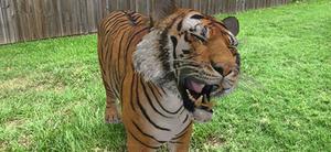 Google AR Tiger