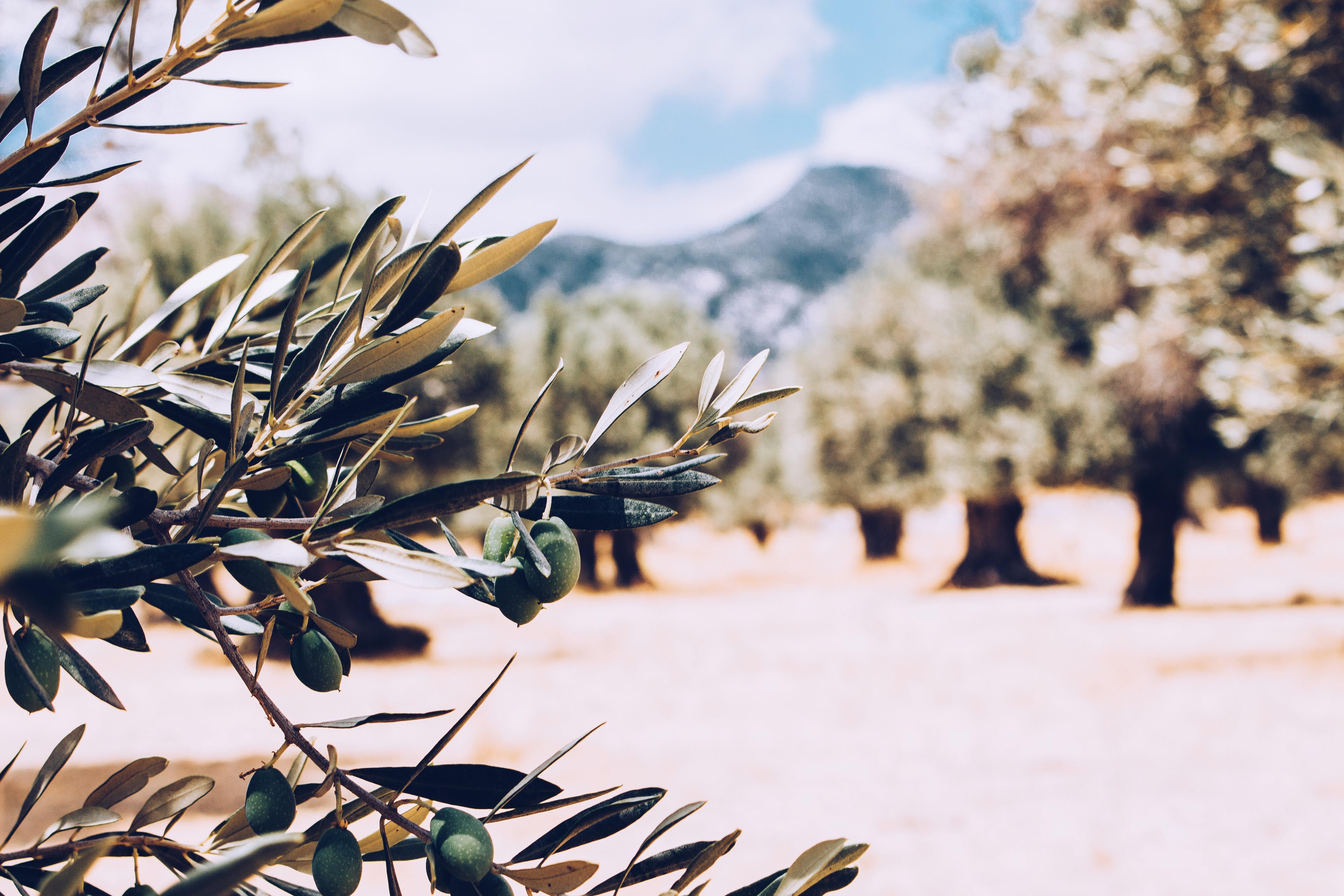 Olive Grove | Naxos