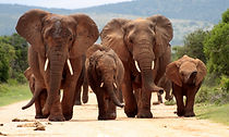 shutterstock_150042383 - elephants.jpg