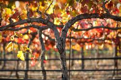 fall-vineyard