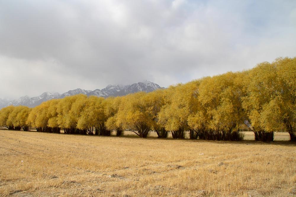 נוף סתווי של שורת עצים מצהיבים בטאשקורגן