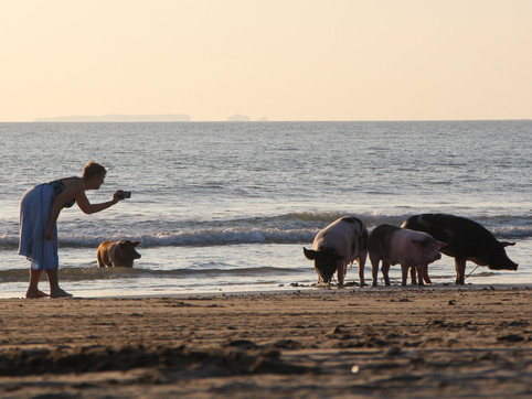 A tourist and pigs in Ngwe Saung beach