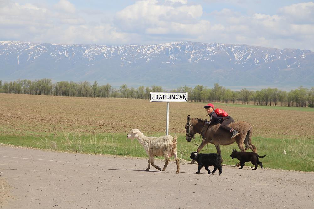 ילד קטן רוכב על חמור ומוביל כמה עזים