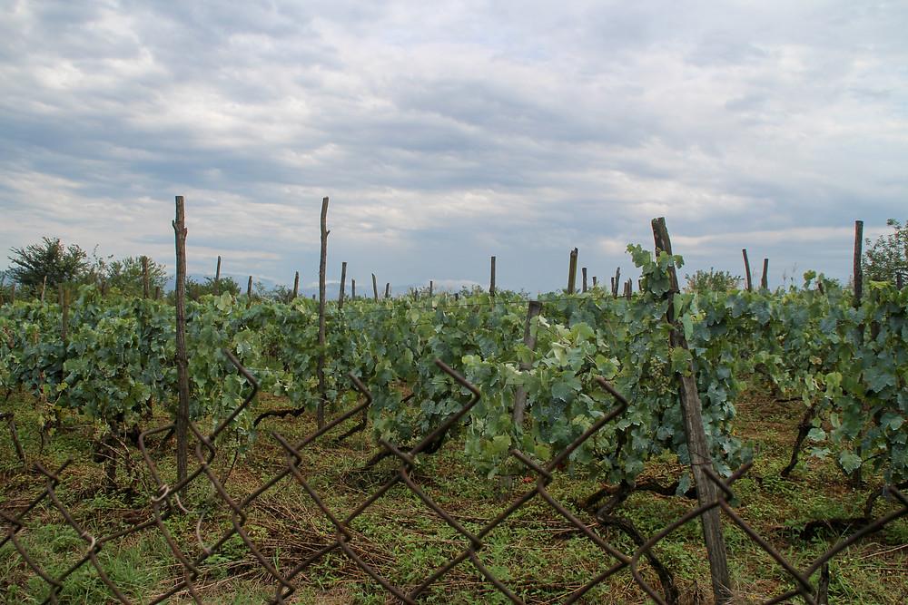 vineyards in Obcha, Georgia