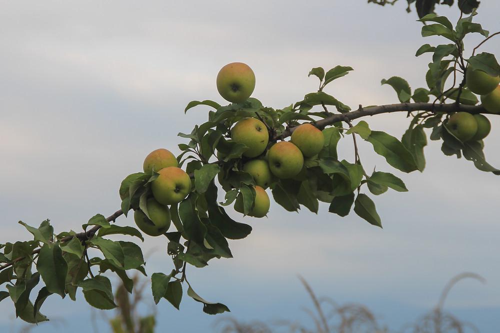 apple tree in Obcha, Georgia
