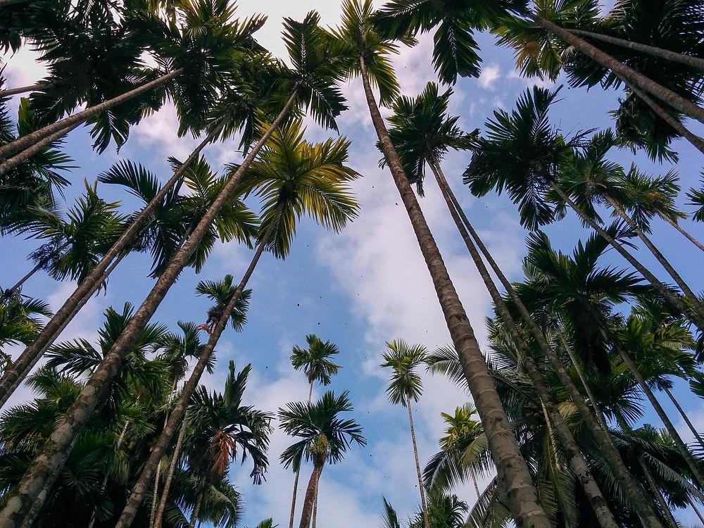 צמרות עצי הקוקוס על הרקע השמיים באנדמן