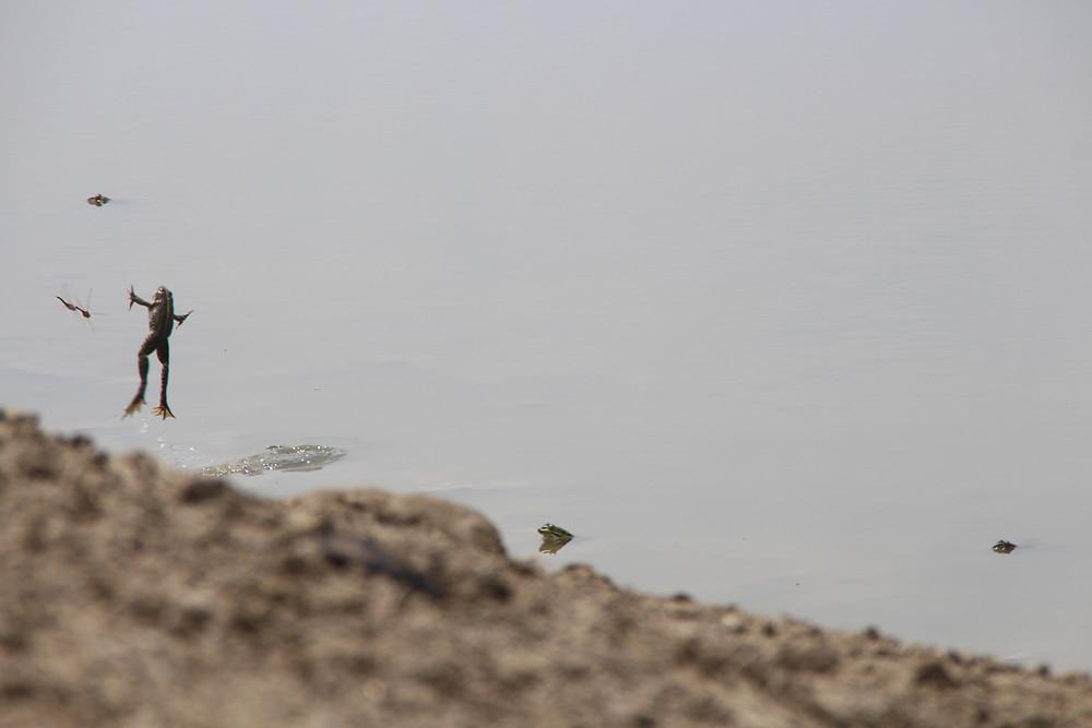 צפרדע קופצת מתוך המים כדי לתפוס שפרירית שעפה לקראתה