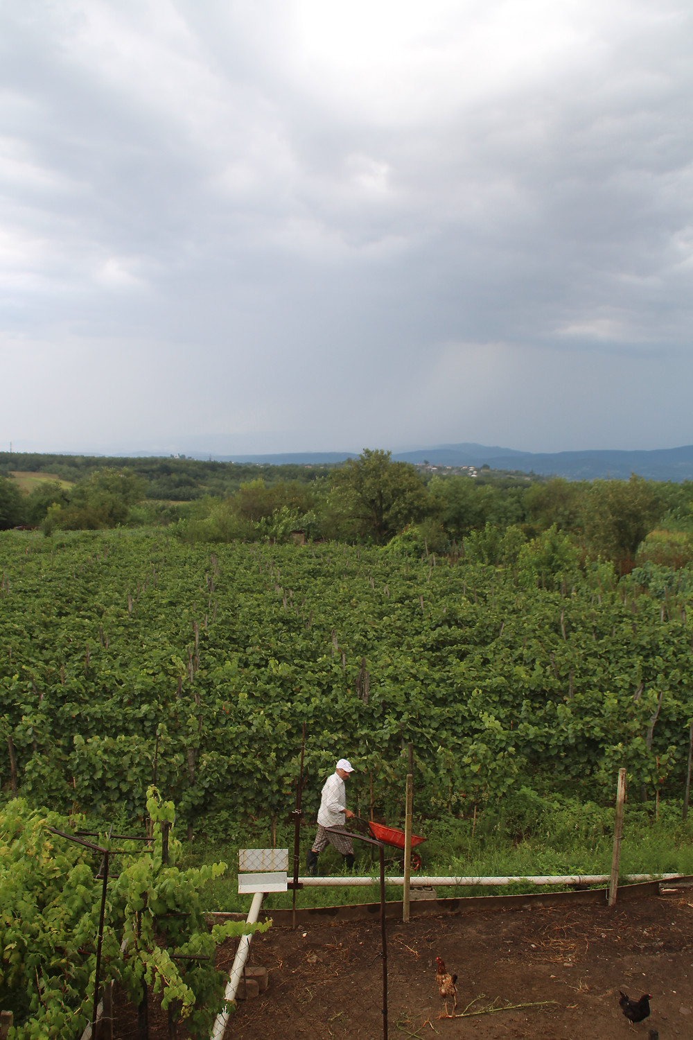 a man working in the vineyards of Obcha, Georgia