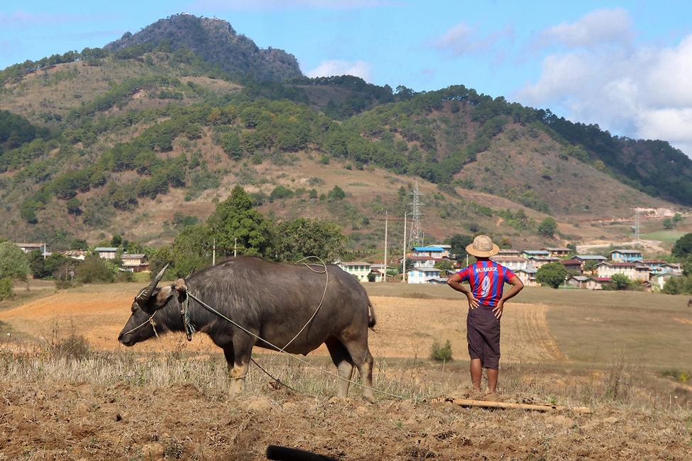 an ox and a man with Suarez t-shirt