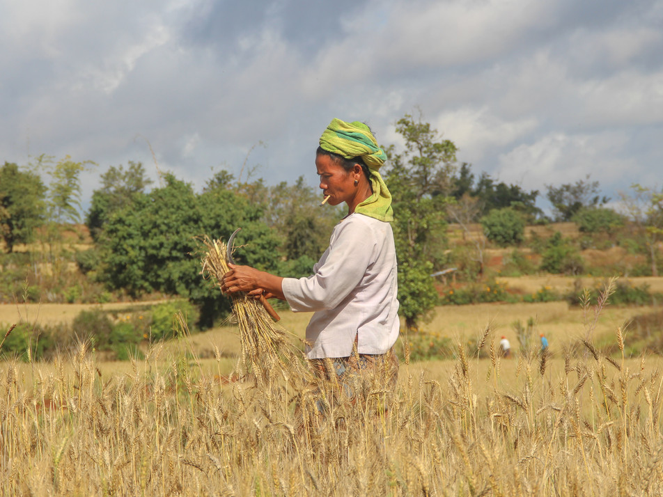 A woman working in a wheat field, on the way from Kalaw to Inle Lake