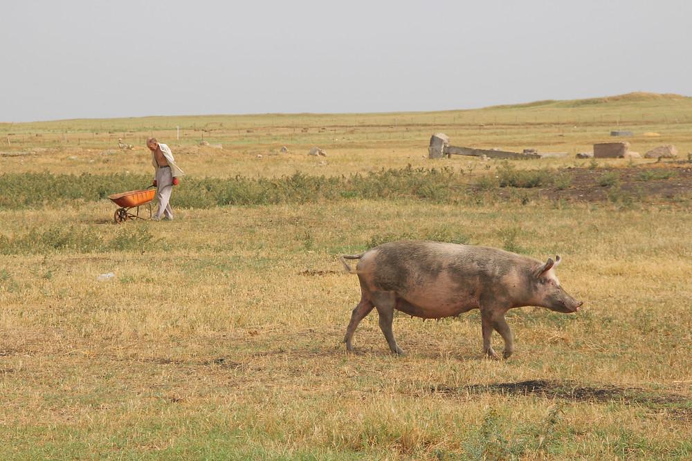 חקלאי מבוגר עם מריצה וחזיר, כל אחד מהם הולך לכיוון הנגדי