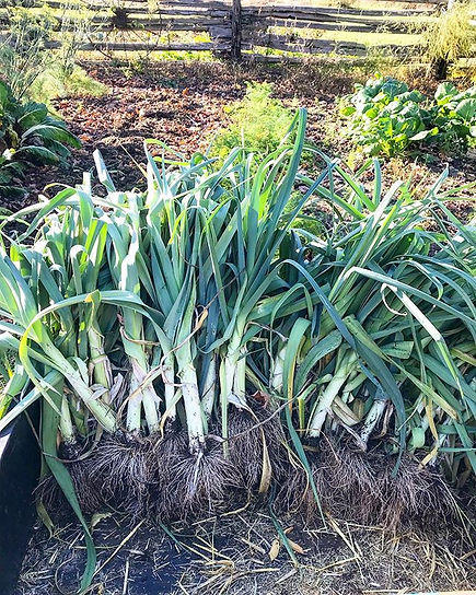 Leek harvest 2019 _Some keys to success_