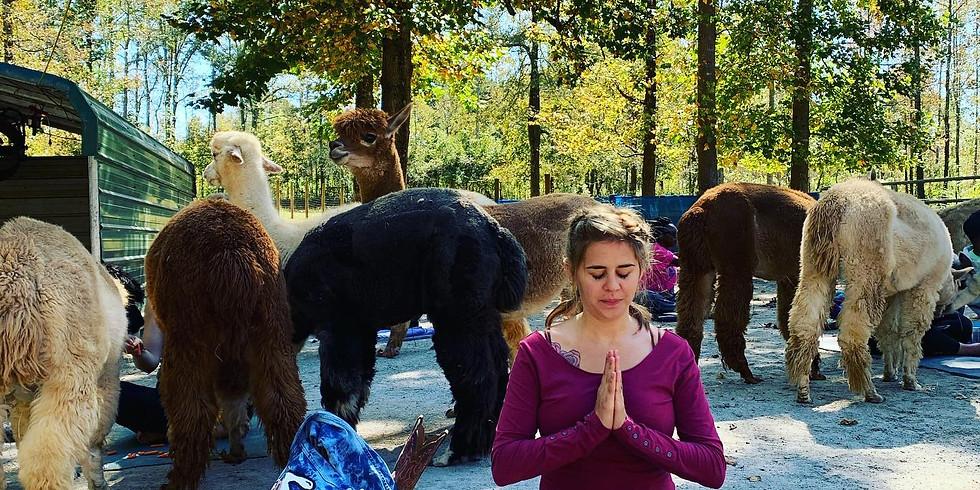 Alpaca Haven Yoga  (1)