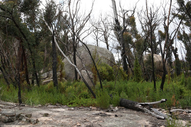 Eucalypts recovering