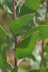 Hakea laevipes subsp. graniticola - finger hakea