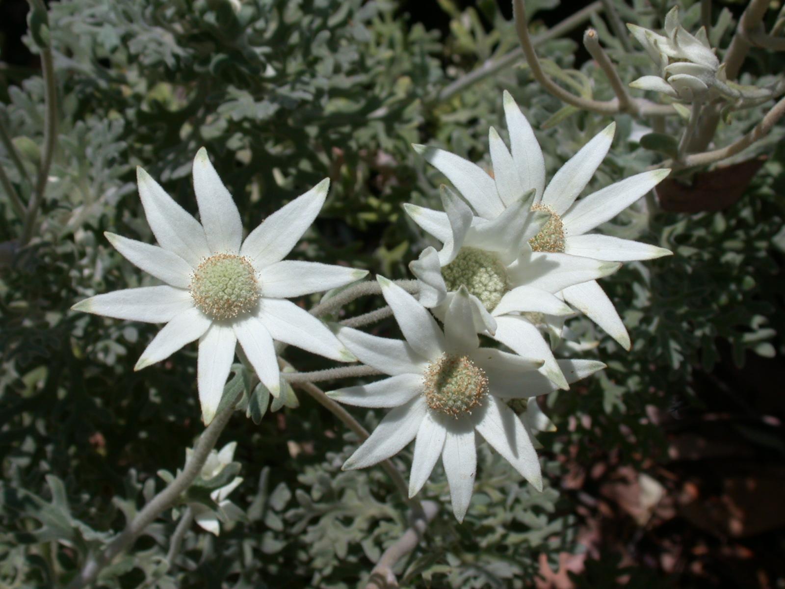 Actinotus helianthi (Flannel flower)