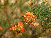 FABACEAE Mirbelia confertiflora - JF02.J
