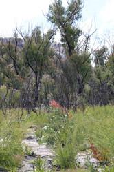 Recovering eucalyptus