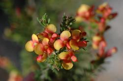 Dillwynia retorta var phyl flowers