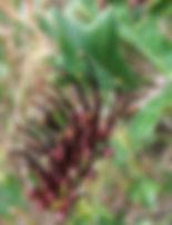 G. scortechinii (flower 1) - Pozieres -