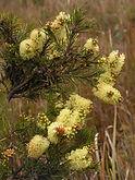 06 Melaleuca pityoides (alpineBottlebrus