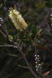 Melaleuca pallida - lemon bottlebrush