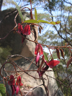 CL Kennedia rubicunda (Red Kennedy pea)