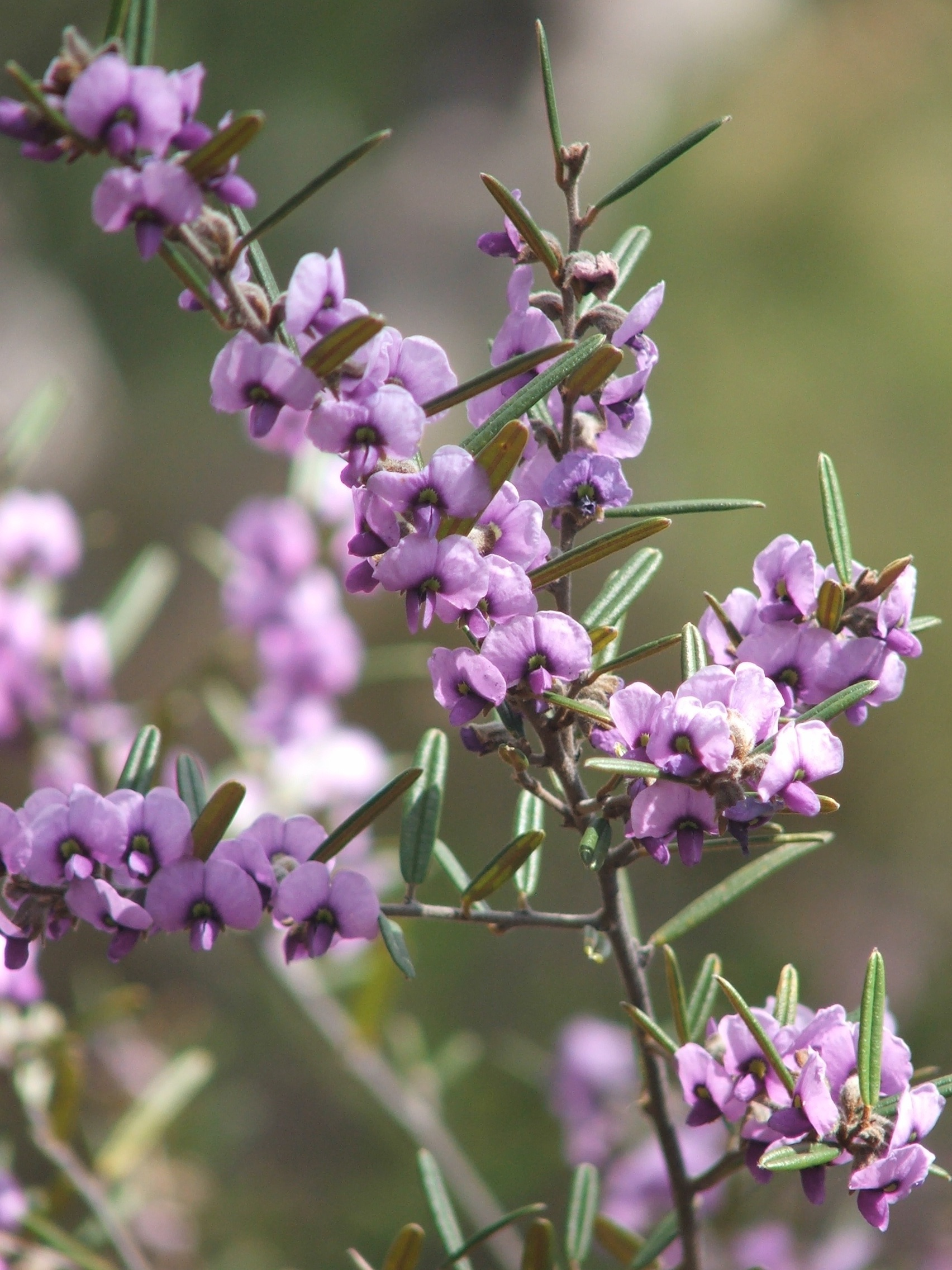 FB Hovea purpurea (Narrow-leaved hovea)