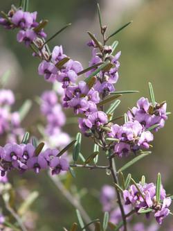 FB Hovea purpurea (Narrow-leaved hovea)