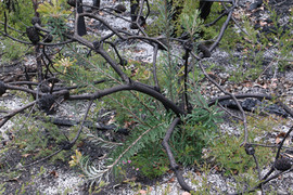 Banksia neoanglica - New England banksia