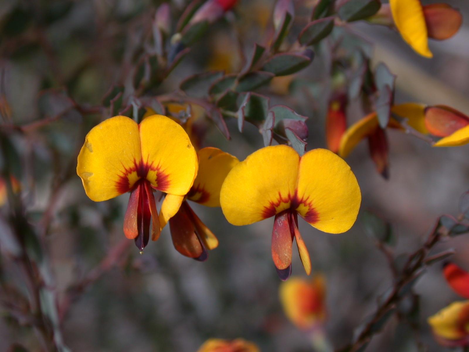 Bossiaea rhombifolia