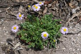 Brachyscome stuartii - granite daisy