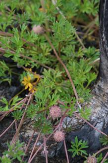 Actinotis gibbonsii - creeping flannel flower