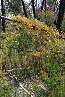 Muehlenbecia costata - scrambling lignum