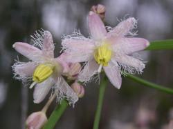 CL Eustephus latifolium (Wombat berry)